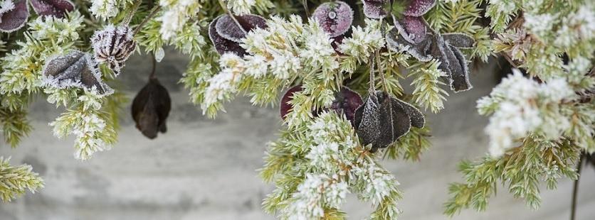 Jak zabezpieczyć rośliny przed zimą?