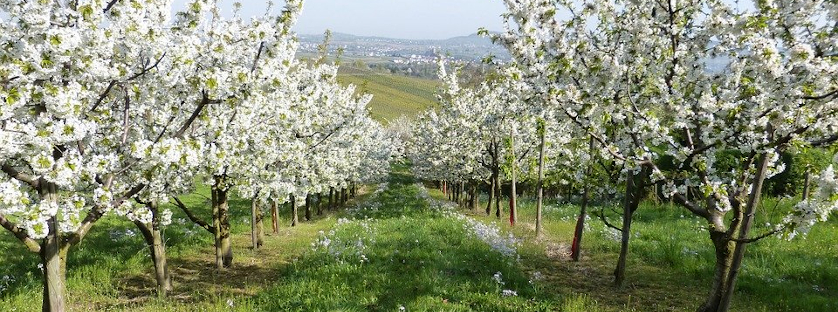 Wpływ cięcia na drzewa i krzewy owocowe