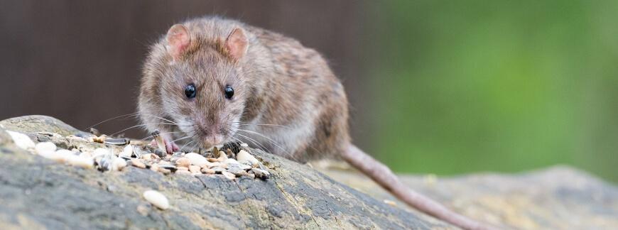 Jak pozbyć się myszy i szczurów z domu? Sposoby na odstraszenie nieproszonych gości