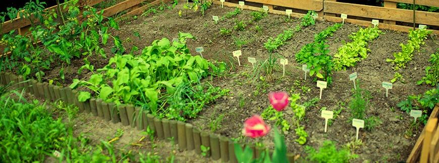 Płodozmian warzywny w ogrodzie – jak zaplanować zmianowanie?