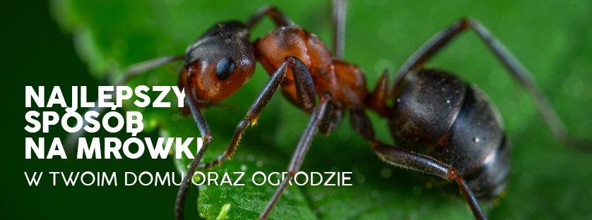 Najlepszy sposób na mrówki w twoim domu oraz ogrodzie