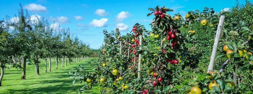 Jak wybrać drzewka owocowe do małego ogrodu?