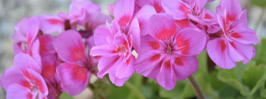 Jak przezimować pelargonie, fuksje, dipladenie i Sundaville? Pielęgnowanie kwiatów letnich zimą.