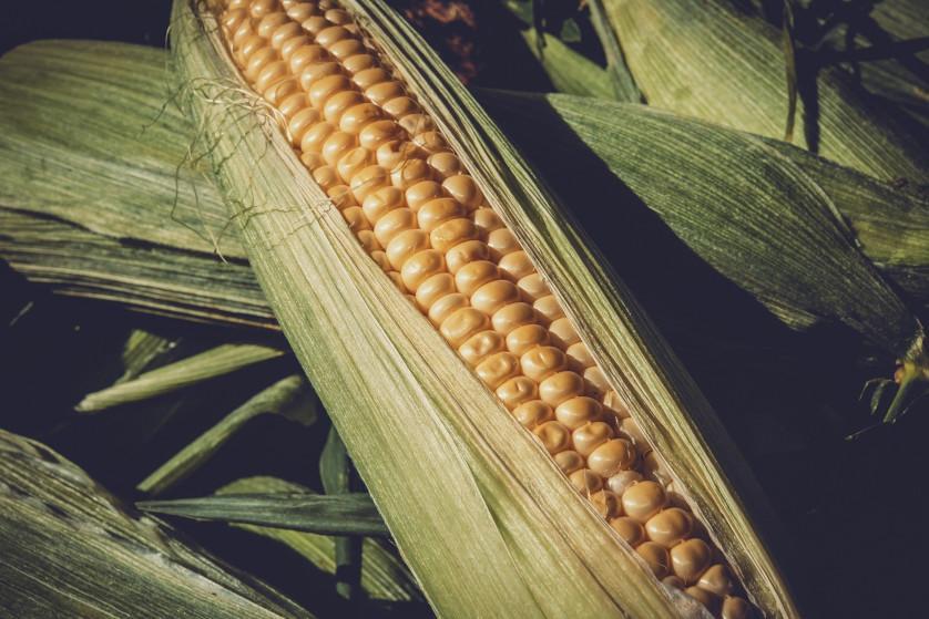 Zbiór kukurydzy kiedy