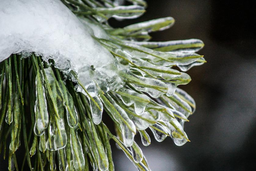 Iglaki zimą